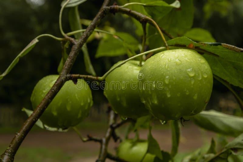 Zieleni jabłka na gałąź z wodnymi kroplami zdjęcie royalty free