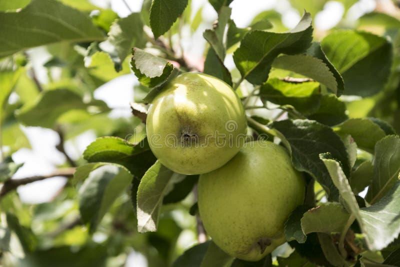 Zieleni jabłka w drzewie z liśćmi, późne lato obrazy royalty free
