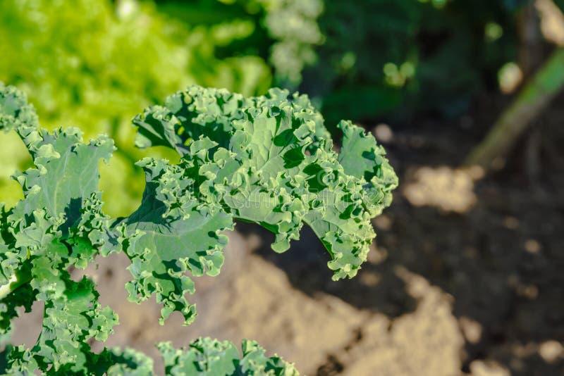 Zieleni jarzynowi liście, zdrowy łasowanie, jarski jedzenie Zakończenie w górę zielonej kędzierzawego kale rośliny w jarzynowym o fotografia royalty free