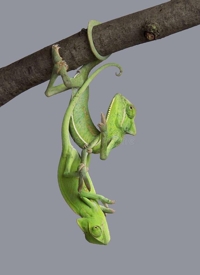 Zieleni kameleony zdjęcie royalty free