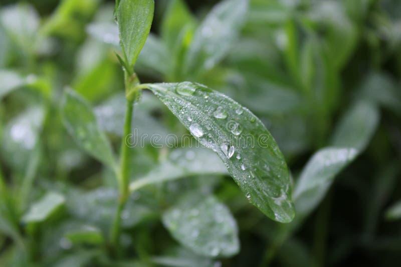 Zieleni knotgrass z wody kroplą w ogródzie zdjęcie royalty free