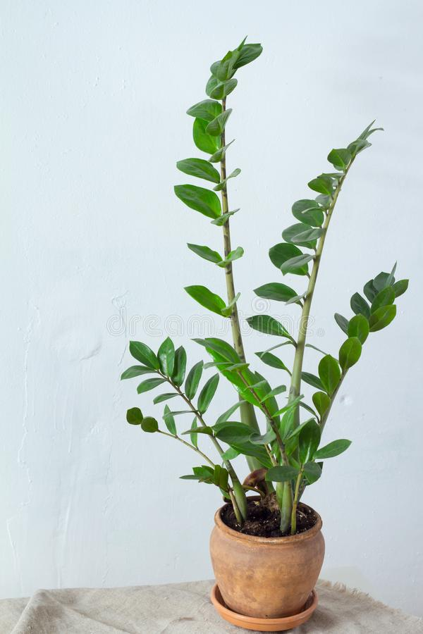 Zieleni kwiatu houseplant zamiokulkas lub dolarowy drzewny dorośnięcie w glinianej brązu garnka pozycji na naturalnej tkaninie od fotografia royalty free