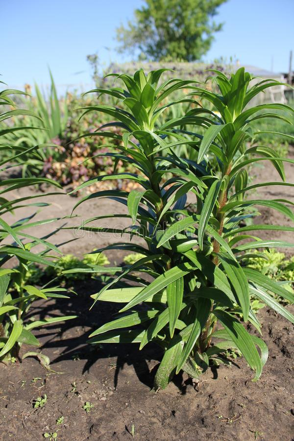 Zieleni leluja liście w lato ogródzie fotografia royalty free