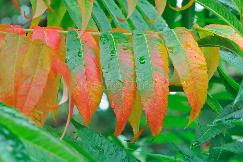 zieleni liść czerwieni sumaki obraz stock