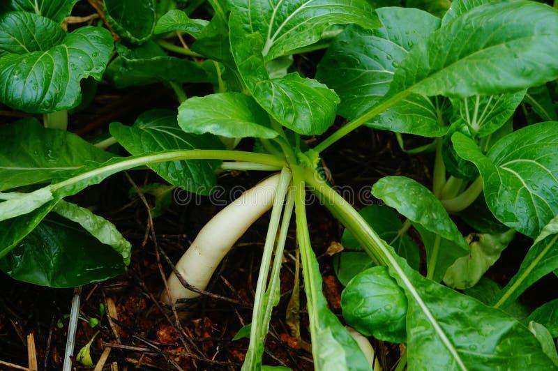 Zieleni liści warzywa r w ziemi obraz stock