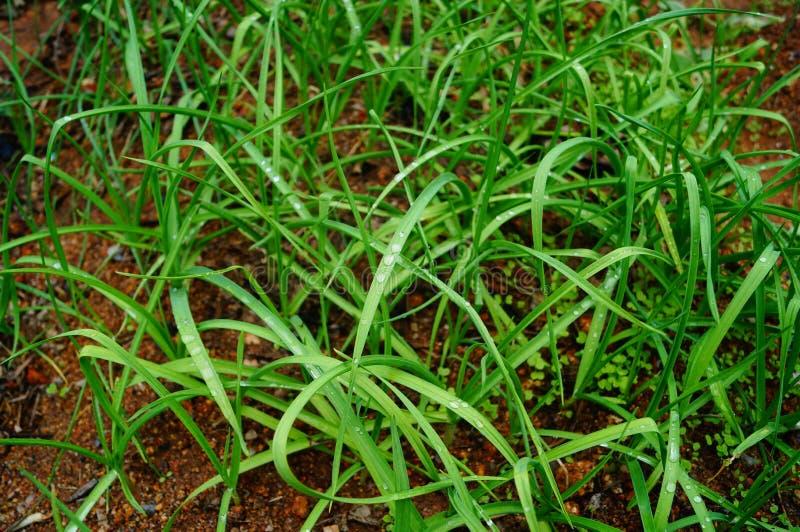 Zieleni liści warzywa r w ziemi obrazy stock