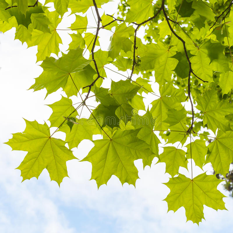 Zieleni liście klonowi nad chmurny niebo fotografia stock