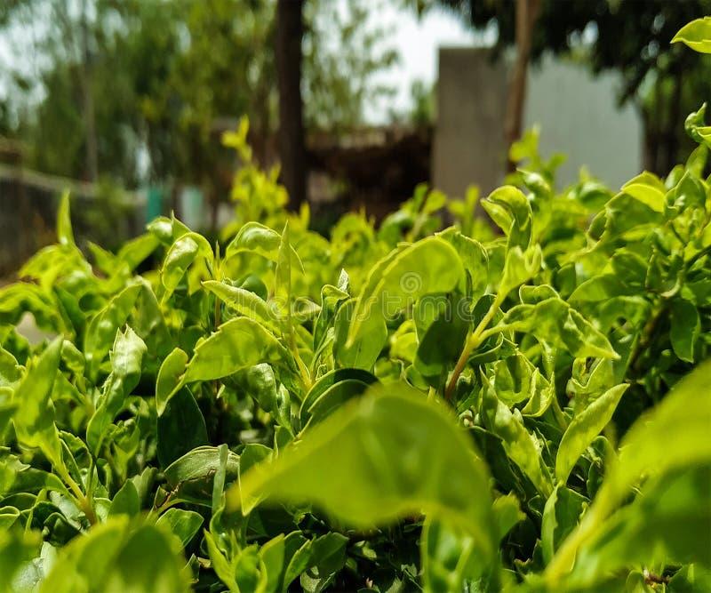 Zieleni liście na ogródzie fotografia stock