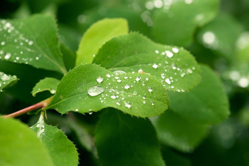 Zieleni liście z wodnymi kroplami zdjęcia stock
