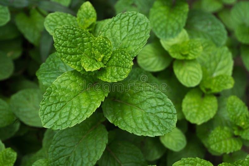 Zieleni miętowi liście, zbliżenie świeżych mennic liści tekstura lub zdjęcie royalty free