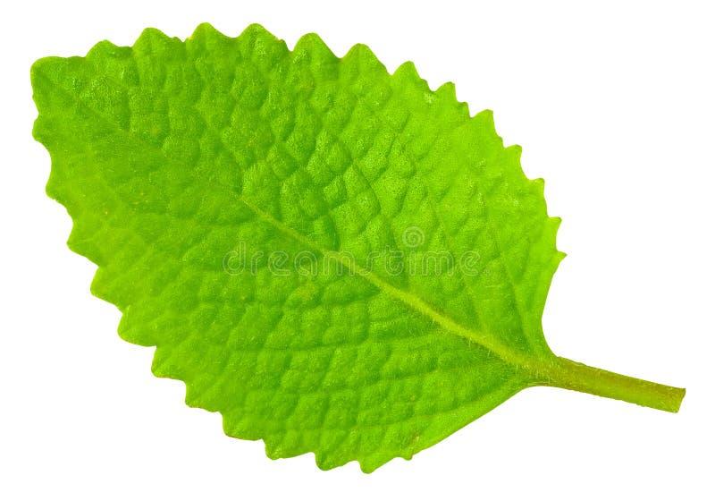 zieleni odosobniony liść oregano biel zdjęcie stock