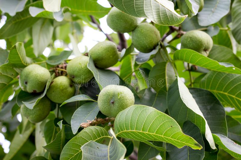 Zieleni orzechy włoscy dojrzewają na drzewie Rosnąć walnuts_ zdjęcia stock