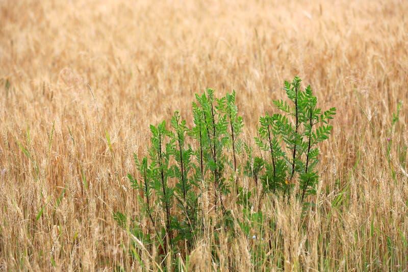 Zieleni palnts na uprawy polu fotografia stock