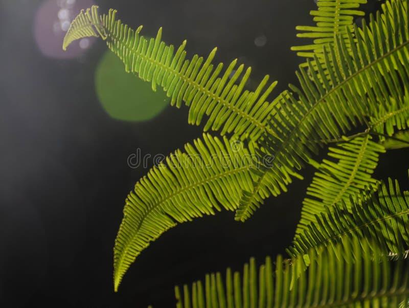 Zieleni paprociowi liście z słońcem migoczą na czarnym tle fotografia stock