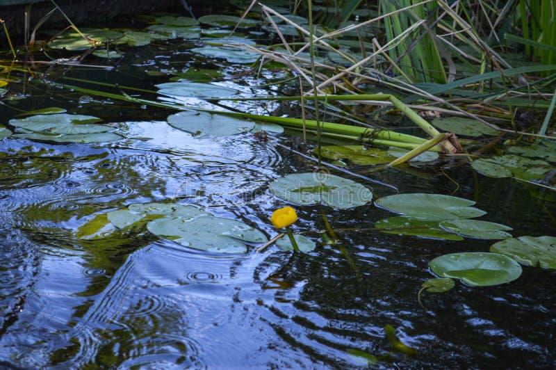 Zieleni piękni kwiaty wodne leluje są żółtymi i zielonymi liśćmi na wodzie na bankach rzeka, jeziora, morza obrazy royalty free