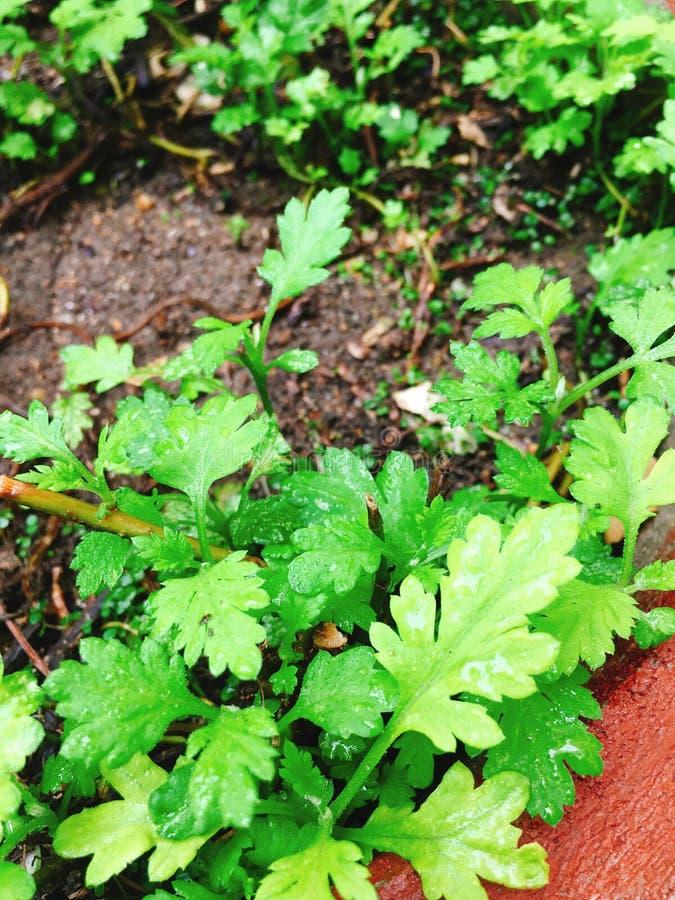 Zieleni piołunów warzywa w ogrodowym garnku zdjęcia royalty free