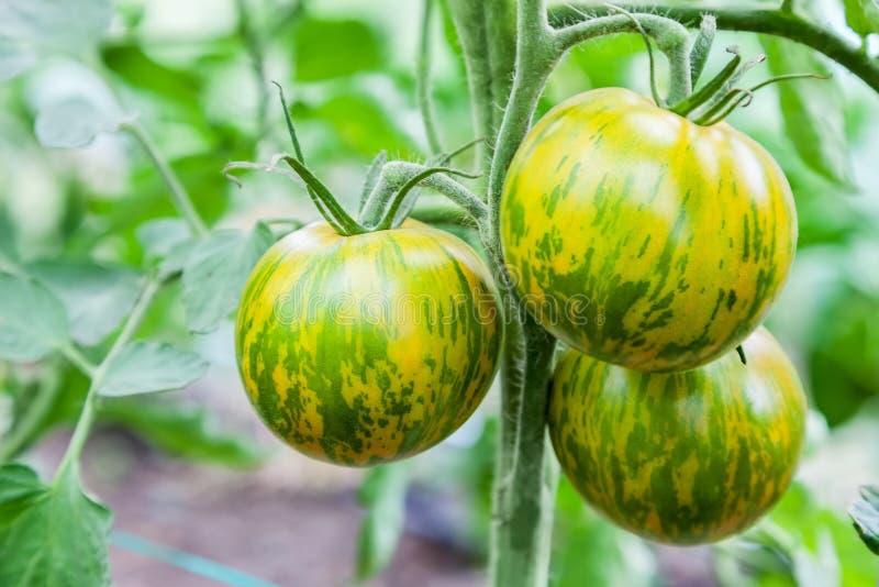 Zieleni pomidory r na gałąź zdjęcia royalty free