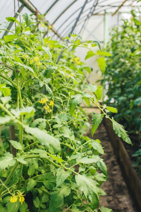 Zieleni pomidory z żółtymi kwiatami w szklarni zdjęcie royalty free