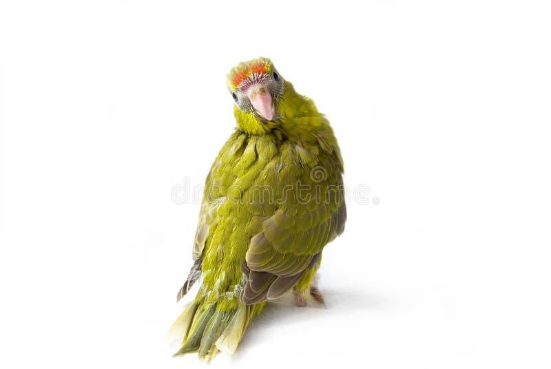 zieleni ptaków potomstwa obraz royalty free