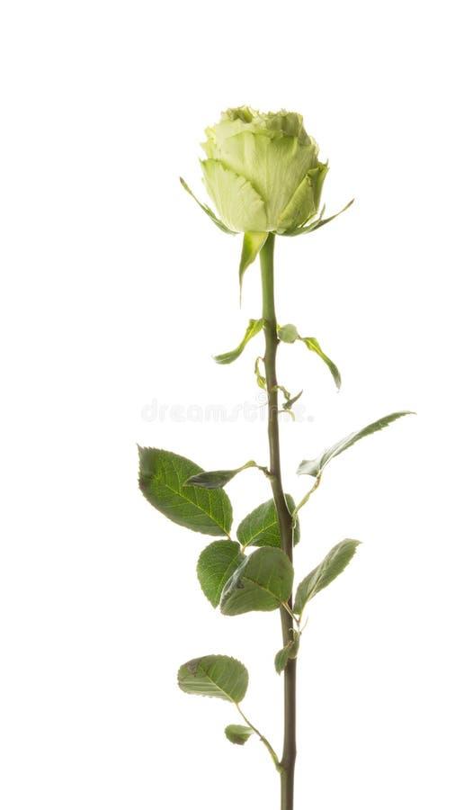 Zieleni róża na białym tle fotografia stock