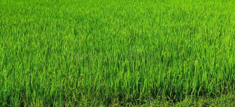 zieleni ryżu pola krajobrazy obraz royalty free