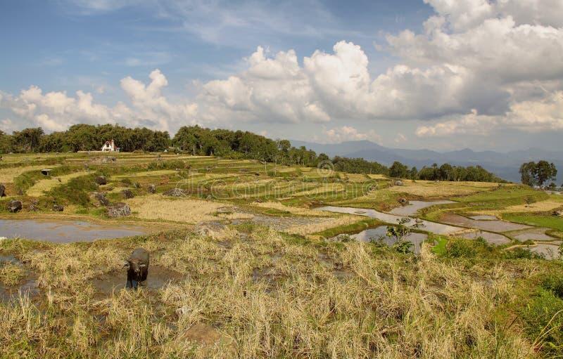 Zieleni ryż tarasy blisko Batutumonga obrazy royalty free