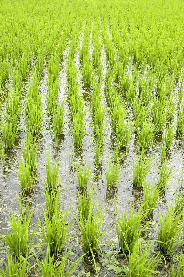 Zieleni ryżowi pola obrazy royalty free