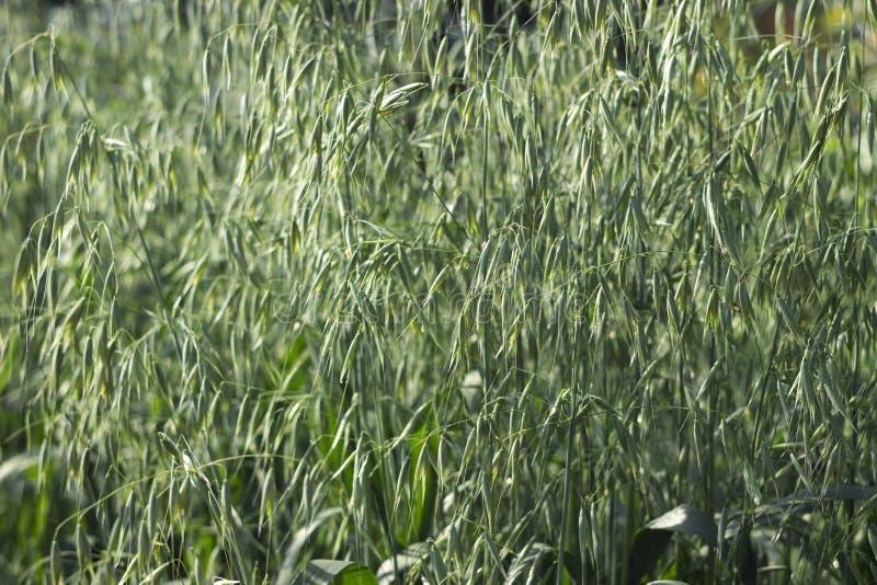 Zieleni spikelets owsy w polu, surowe adra nasieniodajni owsy Trawy ro?lina fotografia stock