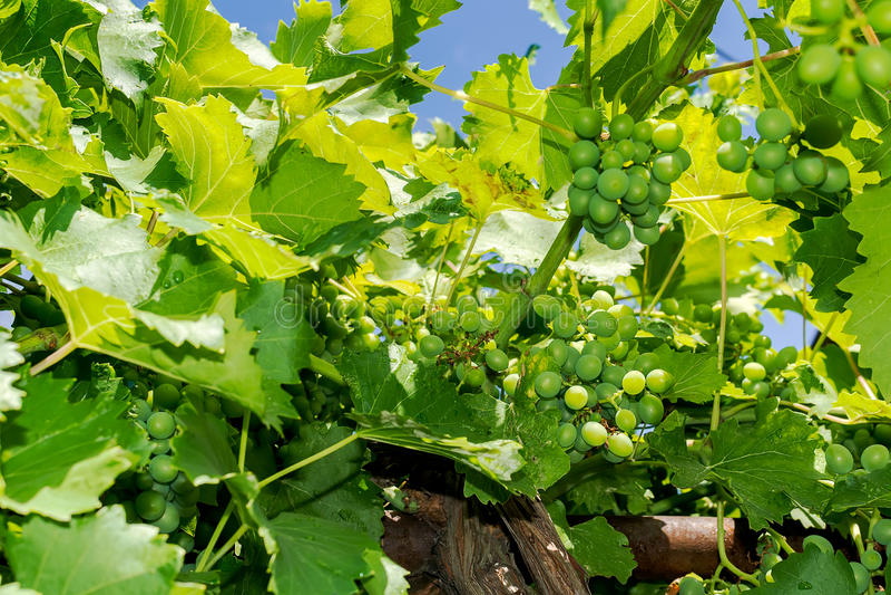 Zieleni winogrona obrazy stock