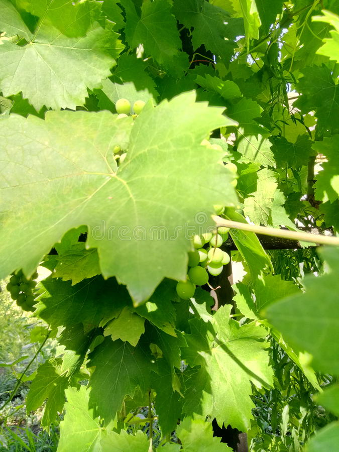 Zieleni winogrona zdjęcie royalty free