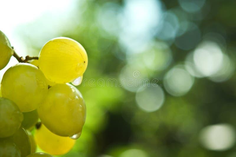 Zieleni winogrona i wodne krople obrazy royalty free