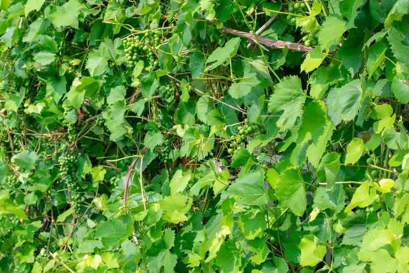 Zieleni winogrona r na winogradach w wczesnym lecie Wiązka zieleni niedojrzali winogrona z liśćmi fotografia royalty free
