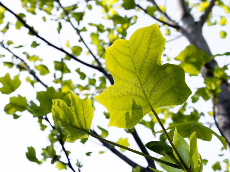 Zieleni wiosna liście na drzewie fotografia royalty free