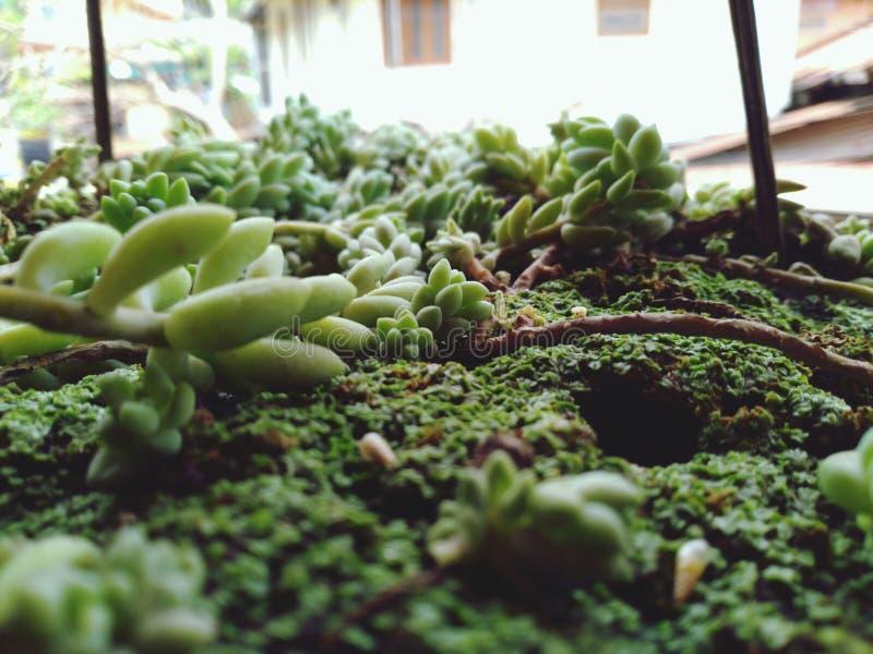 Zieleni ziarna traw rośliny przy glebową równiną fotografia stock
