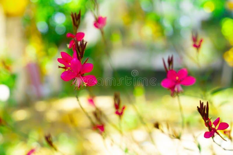Zielenieje bokeh i różowi z ostrości tła od gaura lindheimeri zdjęcie royalty free