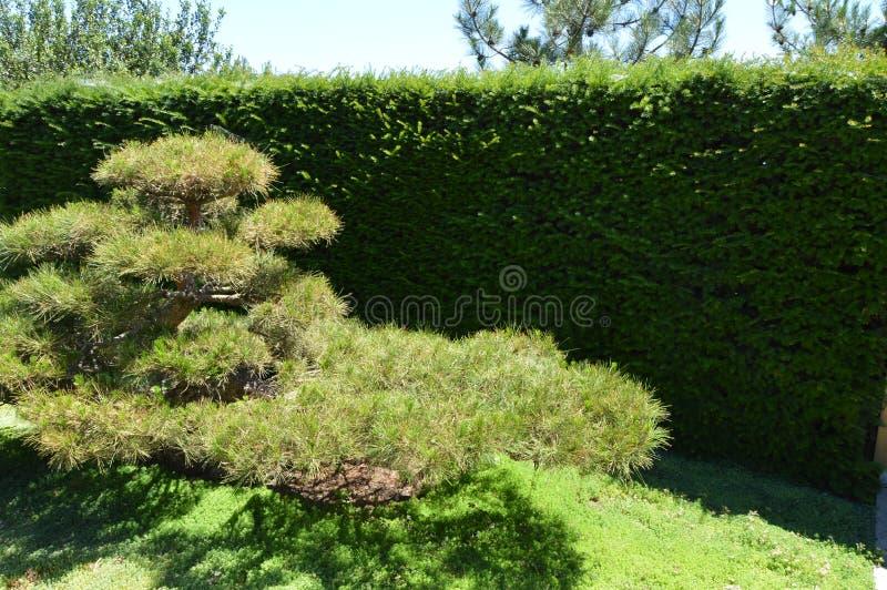 Zielenieje wyginających się bonsai drzewo r w japończyka ogródzie Krajobrazowy projekt w Japońskim stylu fotografia stock