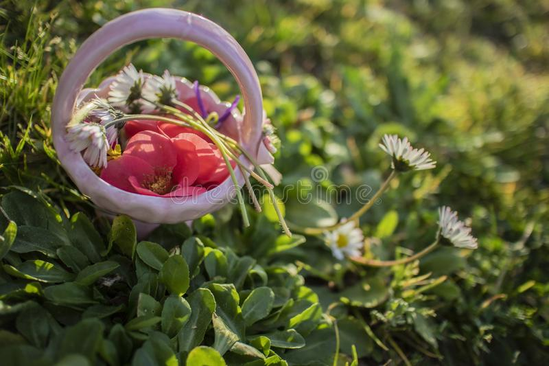 Zielona łąka z stokrotka kwiatami w kwiacie i różowy koszykowy pełny colourful kwiat wiosny krajobraz obrazy stock