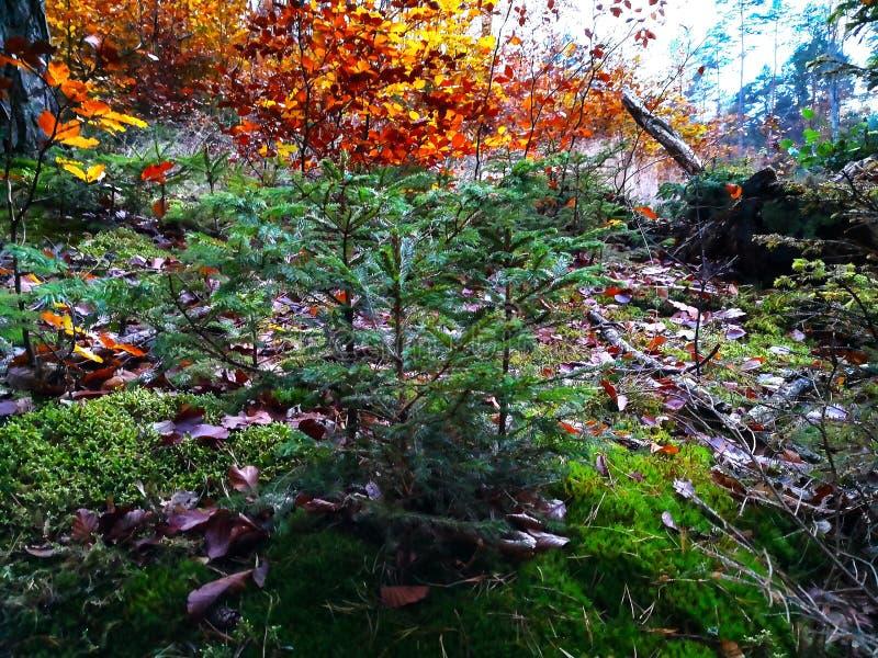 Zielona świerczyna w jesień lesie zdjęcia stock