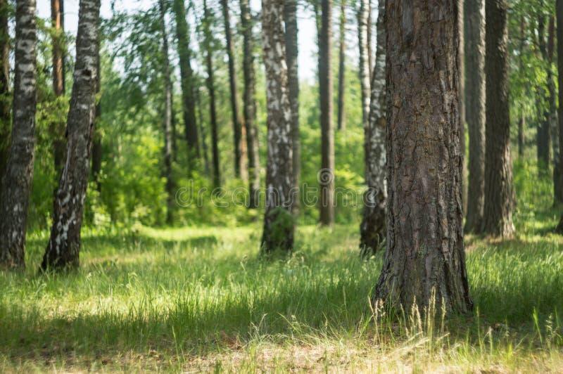 Zielona łąka w lasowym świetle słonecznym przez drzew fotografia royalty free