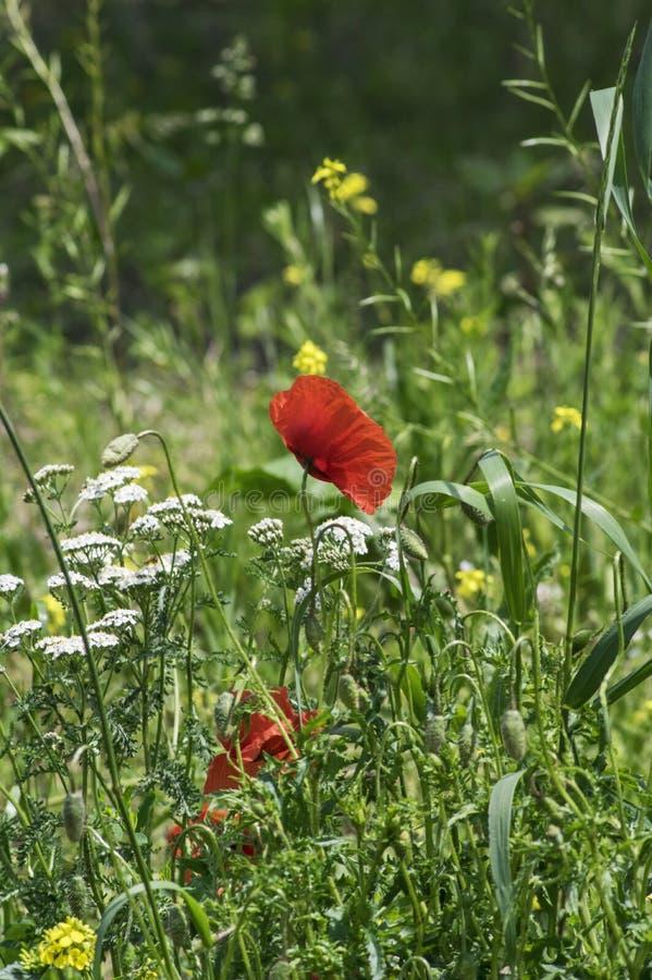 Zielona łąka z kilka kwitnącymi wildflowers zdjęcia royalty free