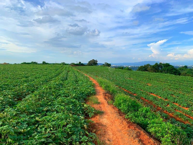 Zielona świeża herbata, rolniczy rośliien pola w wsi Tajwan w wiosna sezonie obszar wiejski Rolna deseniowa naturalna tekstura obrazy royalty free