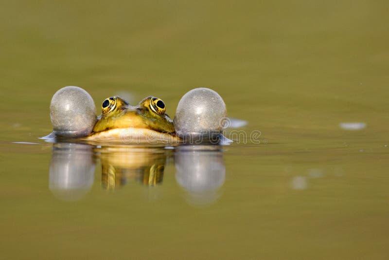 Zielona żaba kumka na pięknym tle zdjęcia royalty free