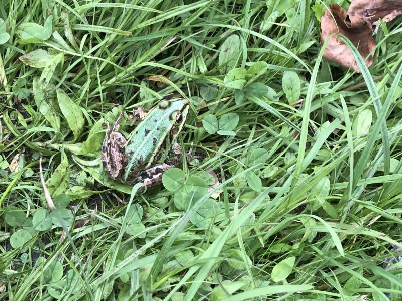 Zielona żaba na trawie obraz royalty free