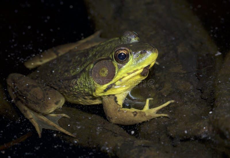 Zielona żaba przy nocą obrazy stock