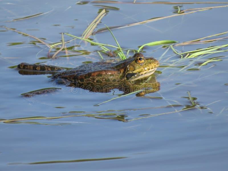 Zielona żaba stronniczo zanurzał w wodzie, na tle algi obraz stock