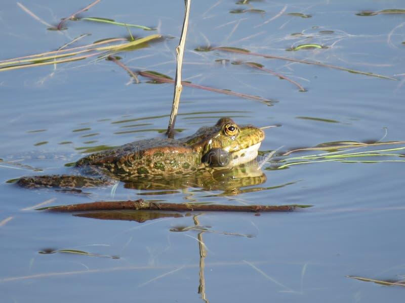 Zielona żaba stronniczo zanurzał w wodzie, na tle algi fotografia royalty free