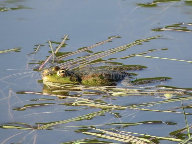 Zielona żaba stronniczo zanurzał w wodzie, na tle algi obraz royalty free