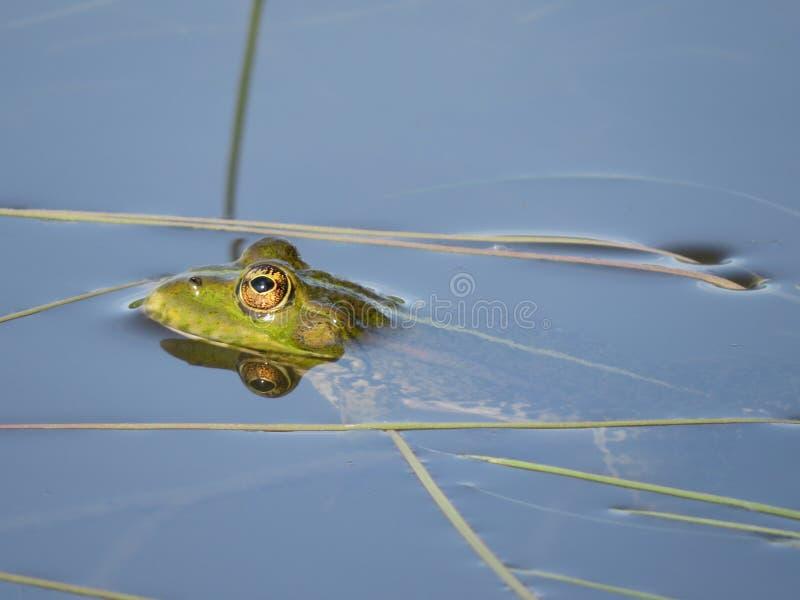 Zielona żaba stronniczo zanurzał w wodzie, na tle algi zdjęcia royalty free