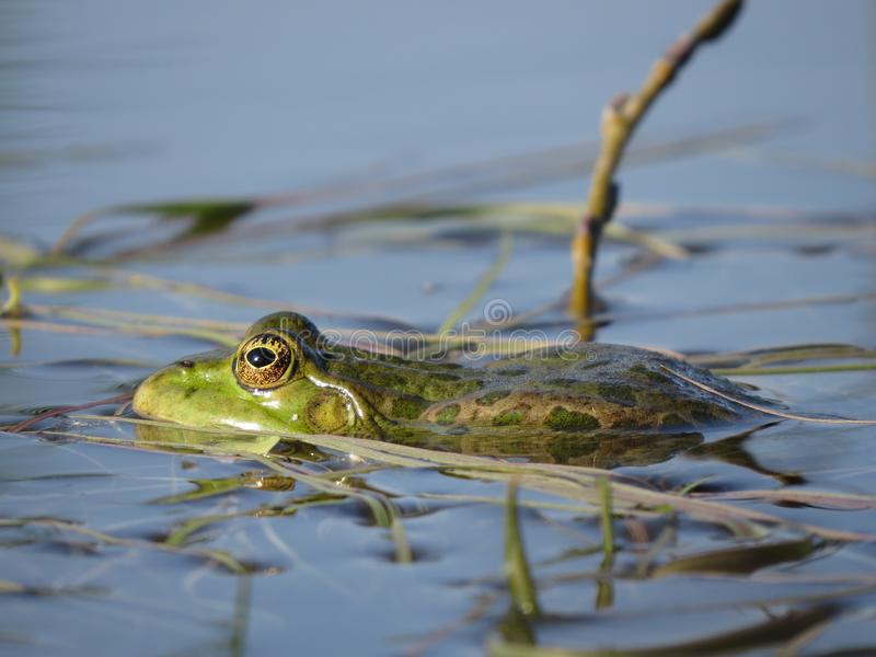 Zielona żaba stronniczo zanurzał w wodzie, na tle algi obrazy royalty free