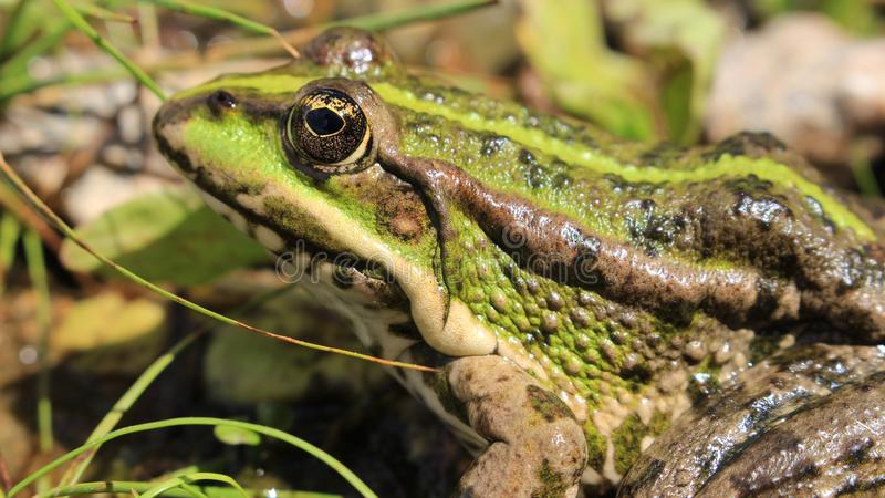 Zielona żaba w poszukiwaniu jedzenia zdjęcia royalty free